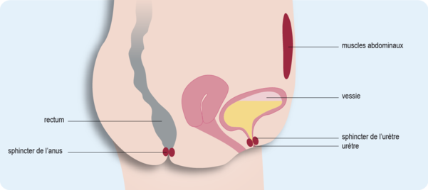 Schéma représentant l'anatomie pelvienne féminine composée de la vessie, de l'urètre et du rectum (cf. description détaillée ci-après)