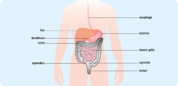 Schéma représentant l'appareil digestif humain composé de l'œsophage, de l'estomac, du foie, de l'intestin grêle et du gros intestin (cf. description détaillée ci-après)