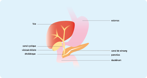 Schéma représentant la région hépatique et pancréatique constituée du foie, de la vésicule biliaire et du pancréas (cf. description détaillée ci-après)