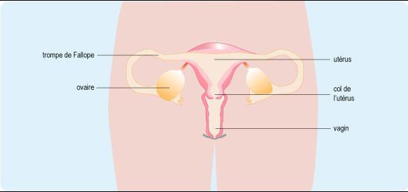 Schéma anatomique de l'appareil génital féminin composé du vagin, du col de l'utérus, de l'utérus, des trompes de Fallope et des ovaires (cf. description détaillée ci-après)