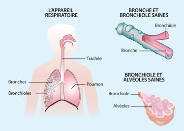 Schéma représentant l'appareil respiratoire et les détails des bronches et des bronchioles
