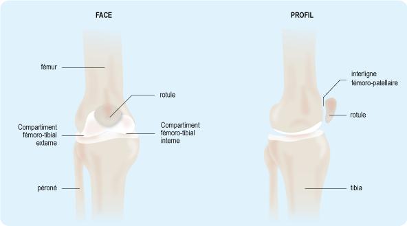 Schéma : articulation du genou (2)