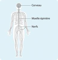 Schéma représentant le système nerveux simplifié, partant du cerveau puis passant par la moelle épinière avant d'irriguer l'ensemble du corps par les nerfs