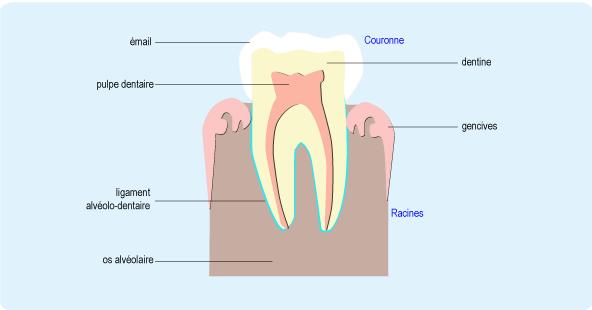 Schéma en coupe d'une dent composé de la couronneet des racines (cf. description détaillée ci-après)