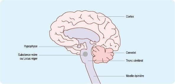 Schéma représentant l'emplacement de la substance noire dans le tronc cérébral, et plus généralement dans l'encéphale (cf. description détaillée ci-après)
