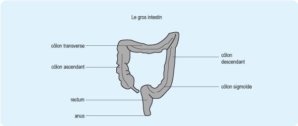 Schéma représentant le gros intestin composé du côlon ascendant, du côlon transverse, du côlon descendant, du côlon sigmoïde et du rectum (cf. description détaillée ci-après)
