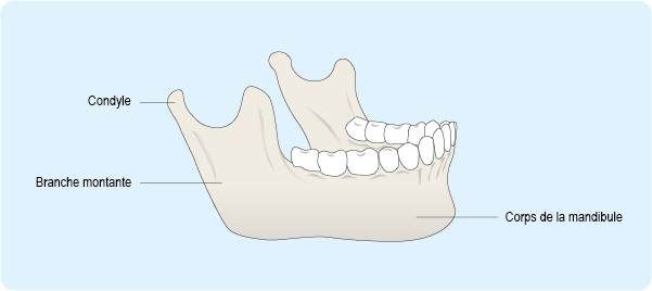 Schéma représentant la mandibule, l'os de la mâchoire inférieure, composé du corps de la mandibule, de la branche montante et du condyle