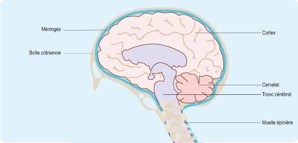 Schéma représentant la structure du cerveau, composé des méninges, du cortex, du cervelet et du tronc cérébral (cf. description détaillée ci-après)