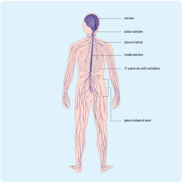 Schéma : neurone entouré de sa gaine de myéline
