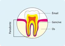 Schéma indiquant l'emplacement du parodonte, tissus de soutien de la dent (cf. description détaillée ci-après)