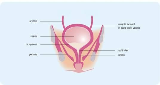 Schéma : les différentes parties de la vessie