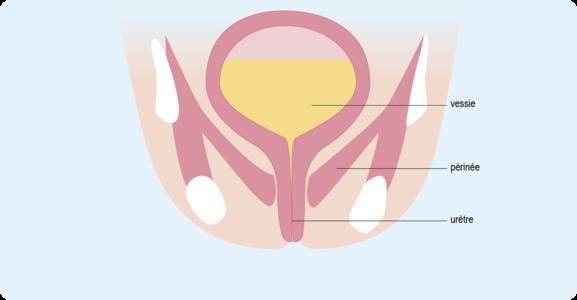 Schéma illustrant la position du périnée, sous la vessie (cf. description détaillée ci-après)