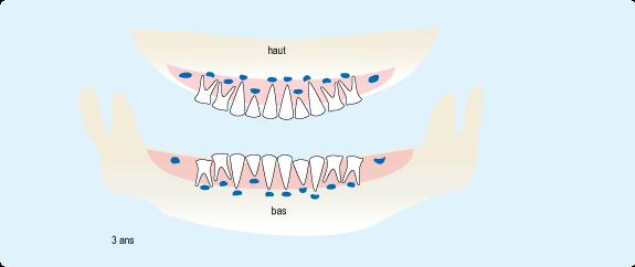 Schéma représentant la position des dents de lait à trois ans, avec toutes les dents sorties, exceptées les deuxièmes molaires du bas