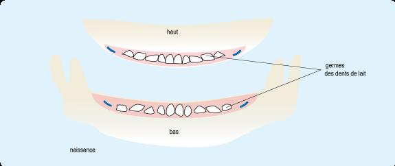 Schéma représentant l'emplacement des germes des dents de lait à la naissance, à l'intérieur de la gencive