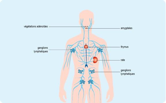 Schéma : le réseau lymphatique, un rôle immunitaire essentiel