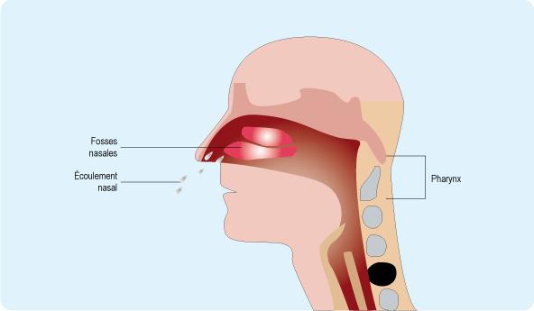 Schéma représentant le rhinopharynx, partie du pharynx, situé après les fosses nasales (cf. description détaillée ci-après)