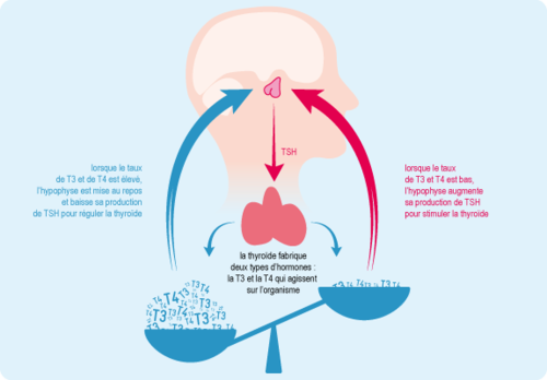 Schéma : rôle de la thyroïde