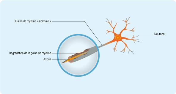 Schéma : système nerveux et terminaisons nerveuses
