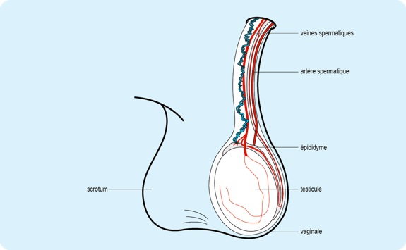Torsion du testicule for L interieur du vagin